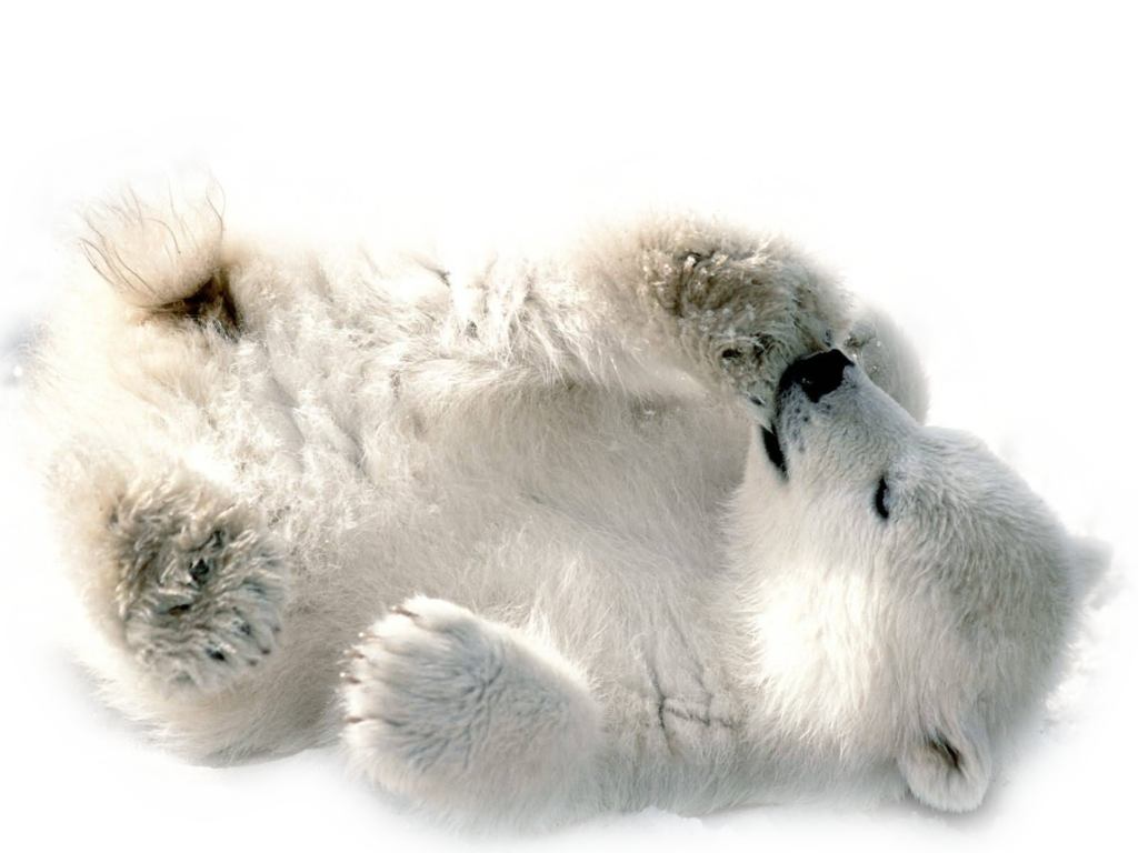 Polar Bear PNG - 25841