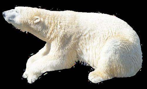 Polar Bear PNG - 25839