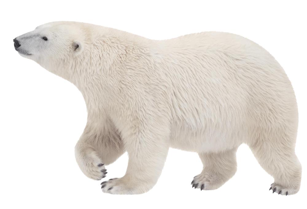 Polar Bear PNG - 25843