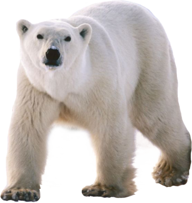 Polar white bear PNG