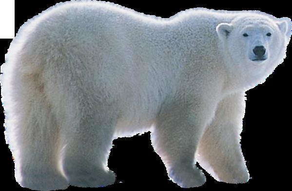 Polar white bear PNG