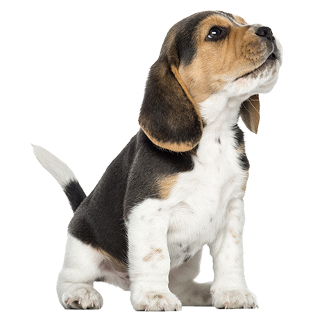 Beagle-puppy-howling-looking-up-1874515381.png - Puppy PNG