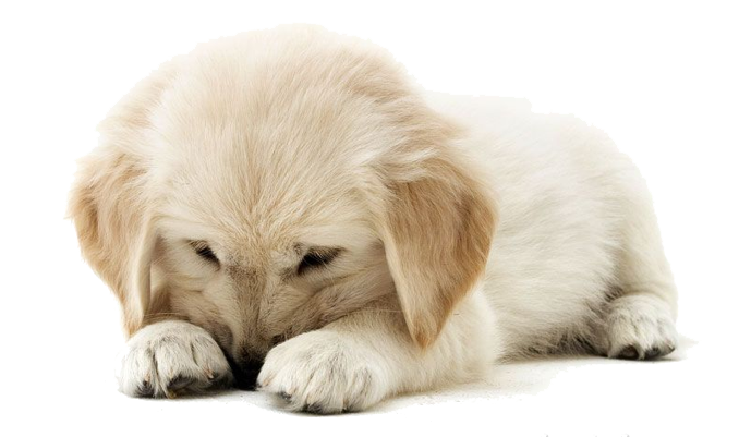 Golden Retriever Puppy PNG Clipart - Puppy PNG