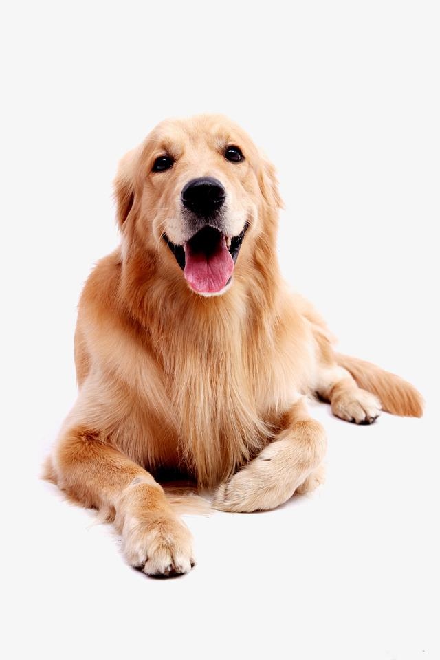 Dog pet Golden Retriever, Golden, Pet Dog, Puppy PNG Image - Puppy PNG HD