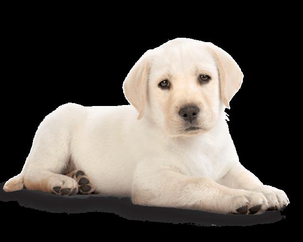 Golden Retriever Puppy PNG Photos - Puppy PNG HD
