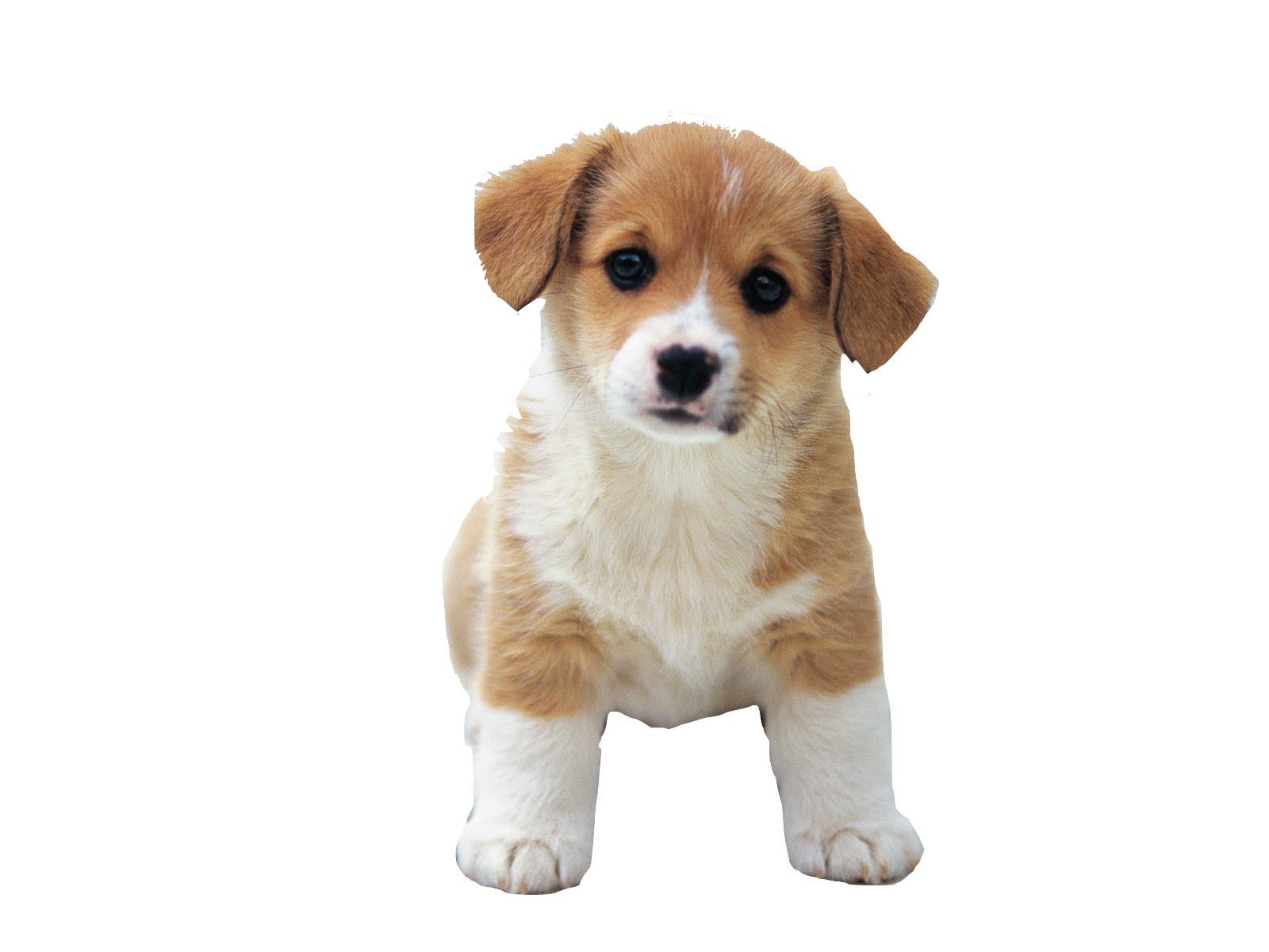 Puppy PNG HD  - 121988