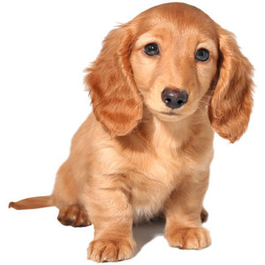 Love Our Dachshund Puppy » Dachshund Puppy - Puppy PNG