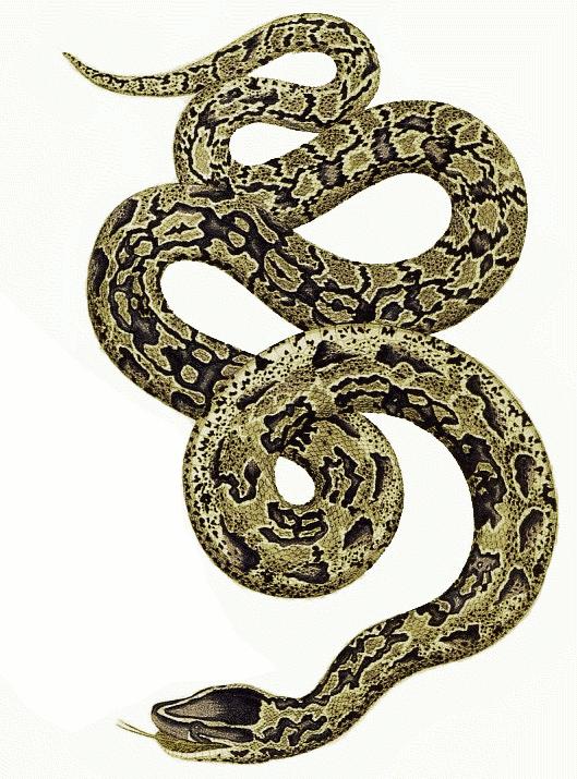 Python Snake PNG-PlusPNG.com-529 - Python Snake PNG