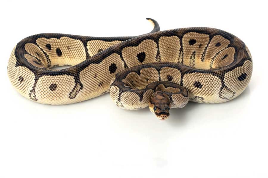 Ball Python - Python Snake PNG