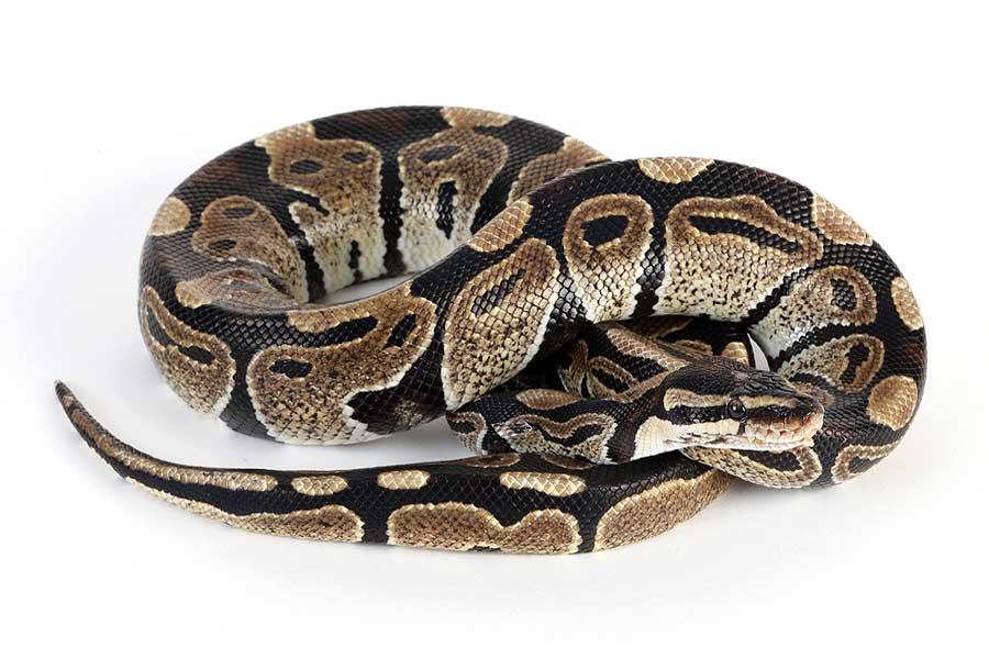 Burmese Python - Python Snake PNG
