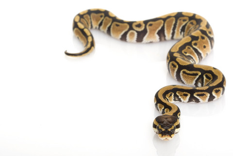 The Ball Python Is A Medium-sized Snake Native To Grasslands And Farmlands  Of Western And Central Africa. Like Other Pythons, It Is A Constrictor, PlusPng.com  - Python Snake PNG