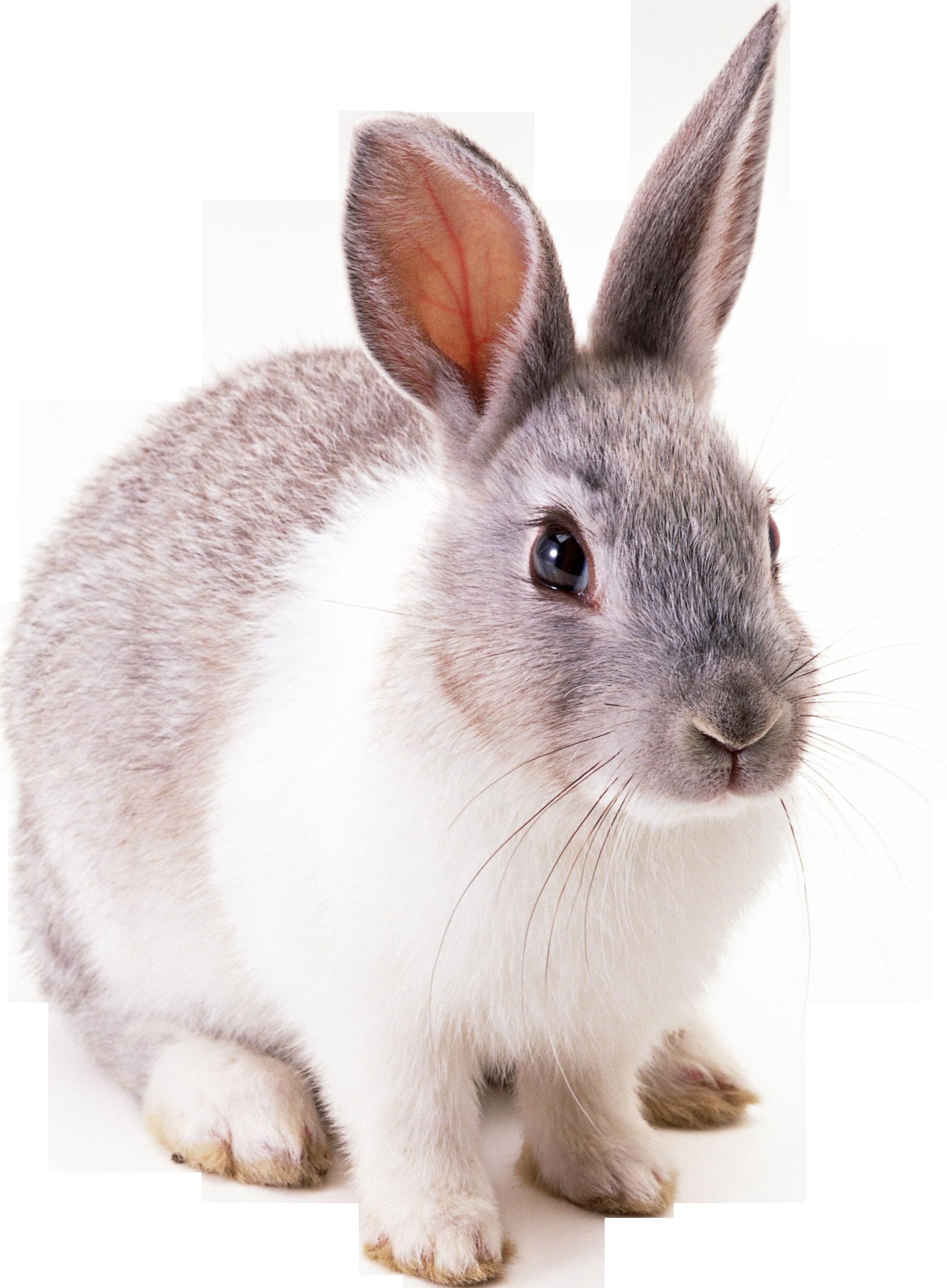 Rabbit HD PNG-PlusPNG.com-1729 - Rabbit HD PNG