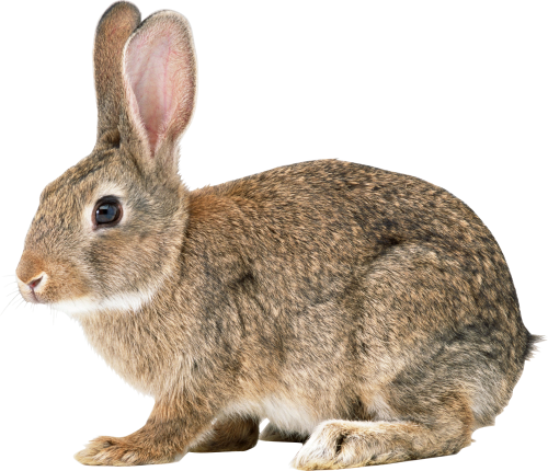 Download PNG image - Rabbit Png File 540 - Rabbit HD PNG