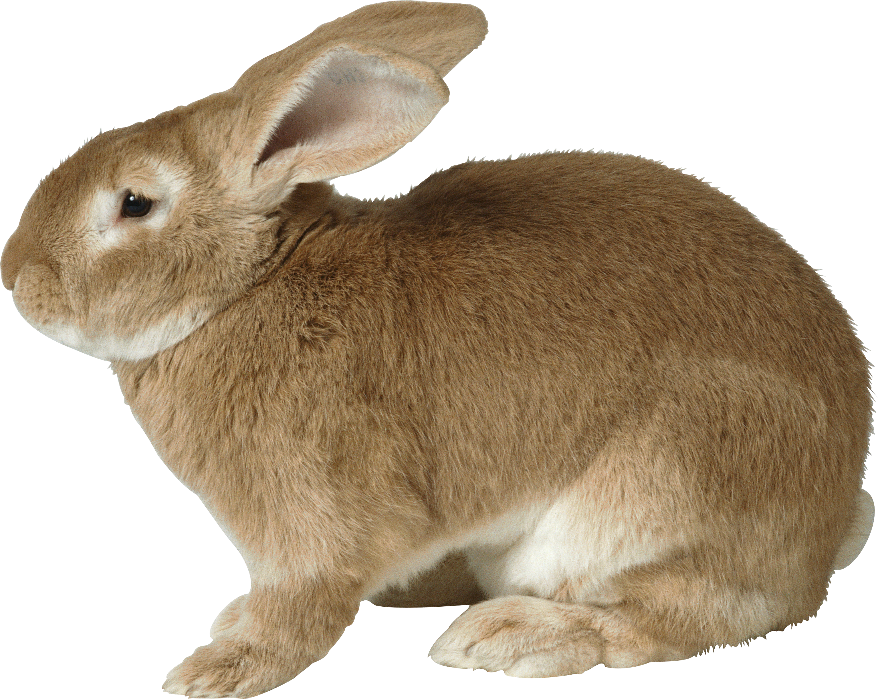 Rabbit Pictures, Concept Art, Character, Google Search, Image, Free, Rabbits,  Searching, Montessori - Rabbit HD PNG