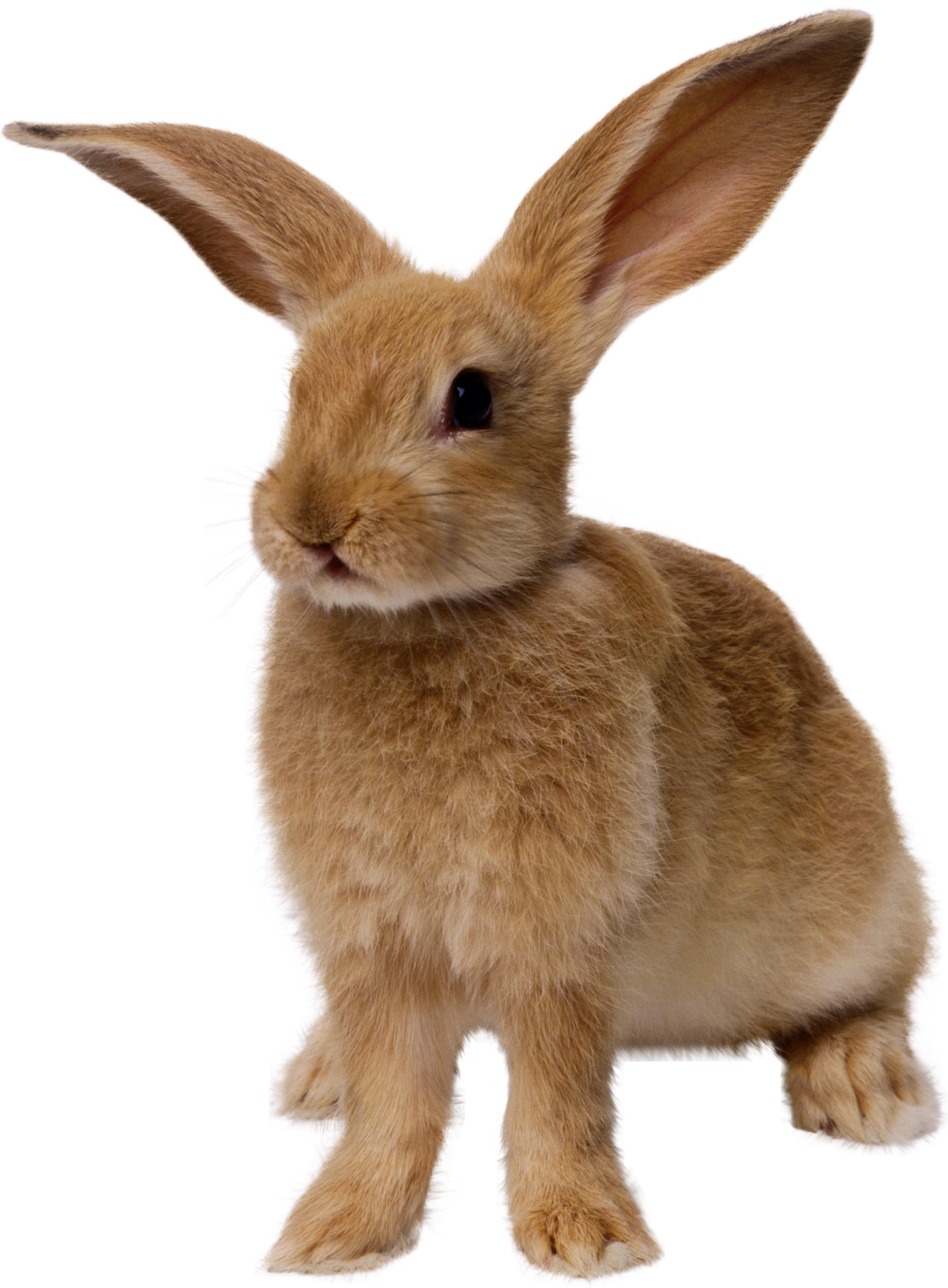 Rabbit PNG Image - Rabbit HD PNG