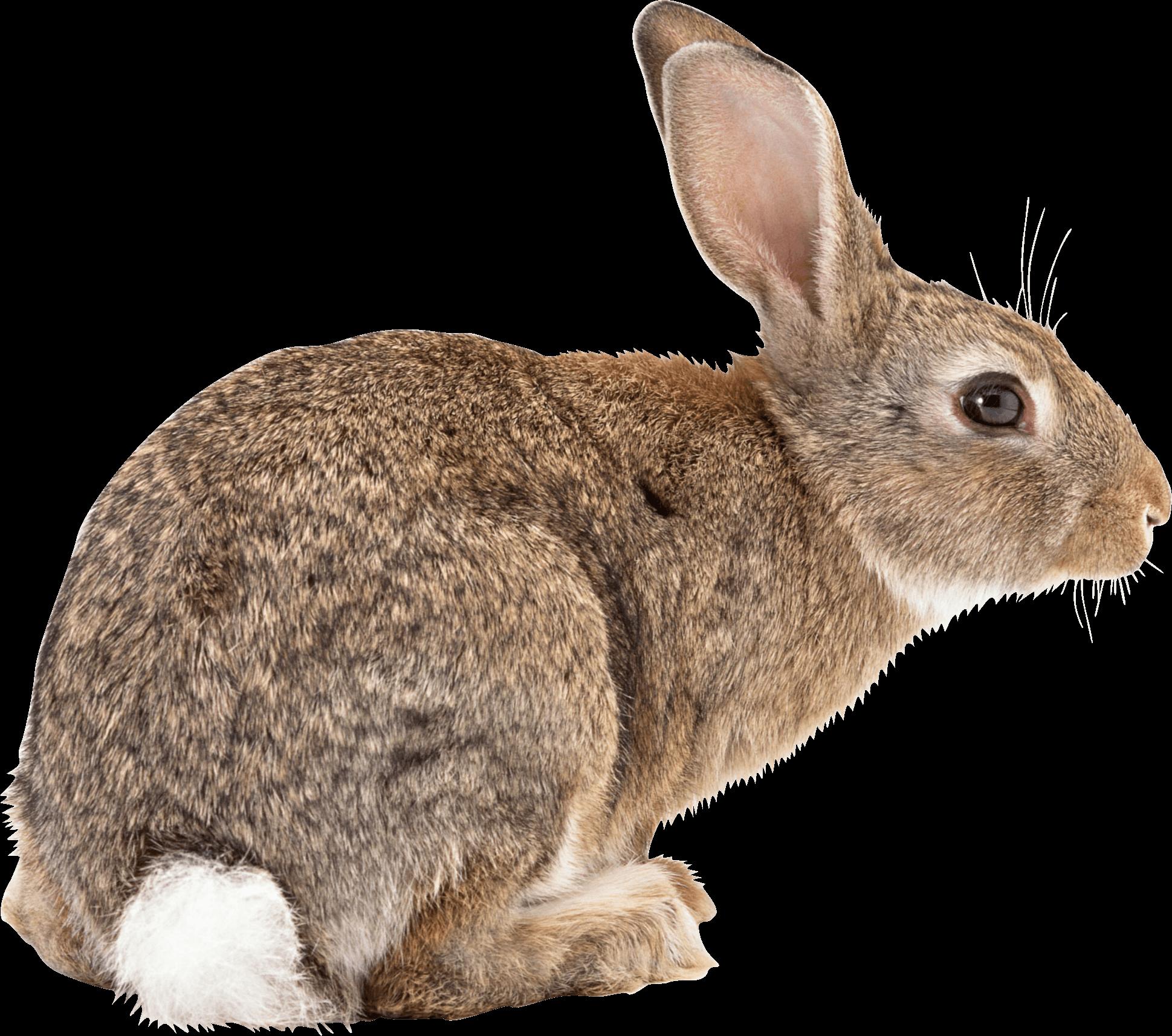 Rabbit Ready To Jump - Rabbit HD PNG