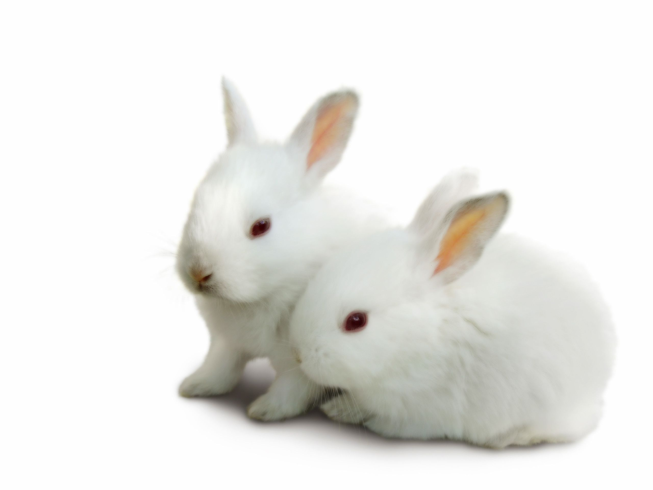 Top Beautiful And Cute Rabbit Wallpapers In HD - Rabbit HD PNG