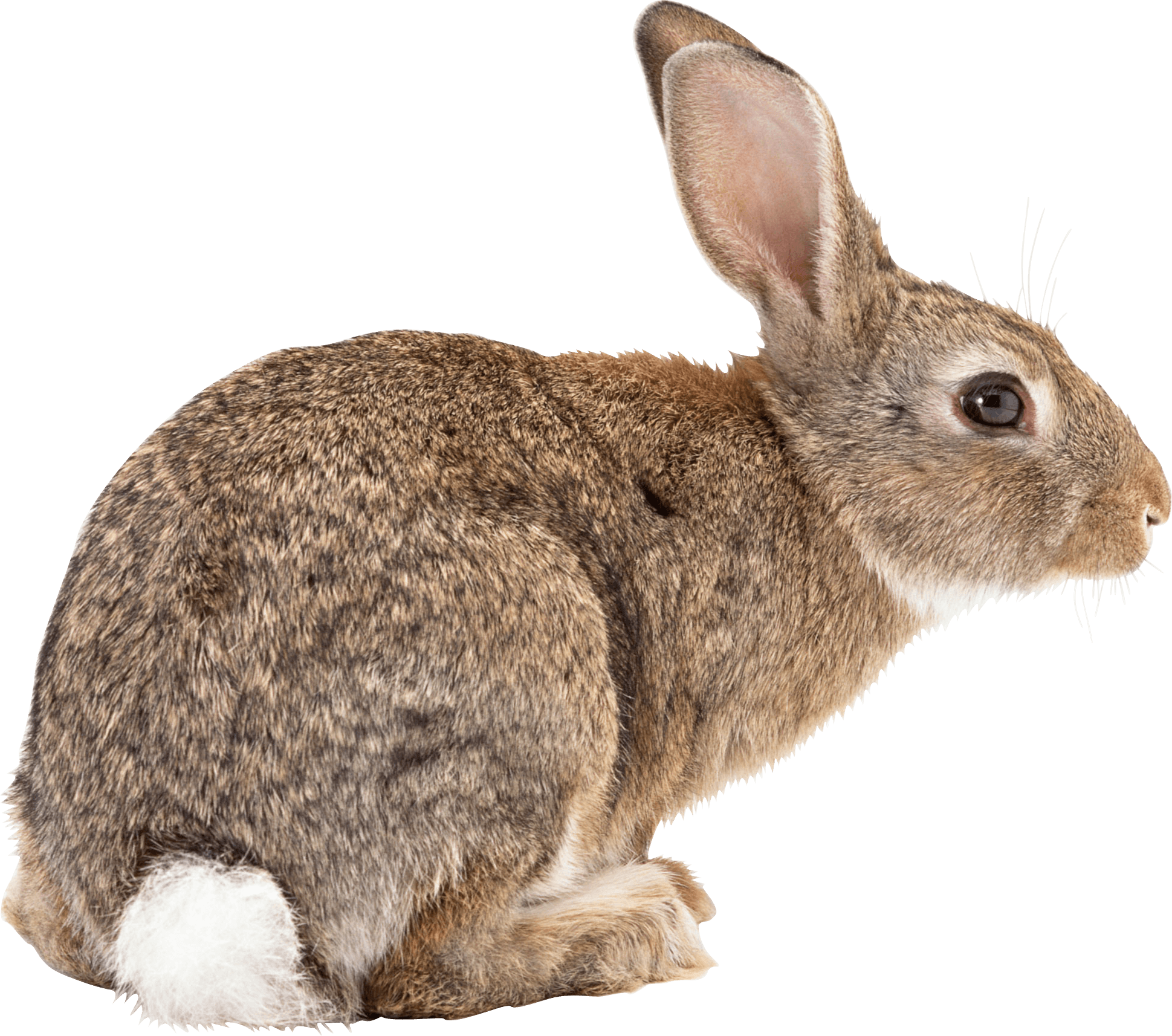 Download · Animals · Rabbits - Rabbit PNG