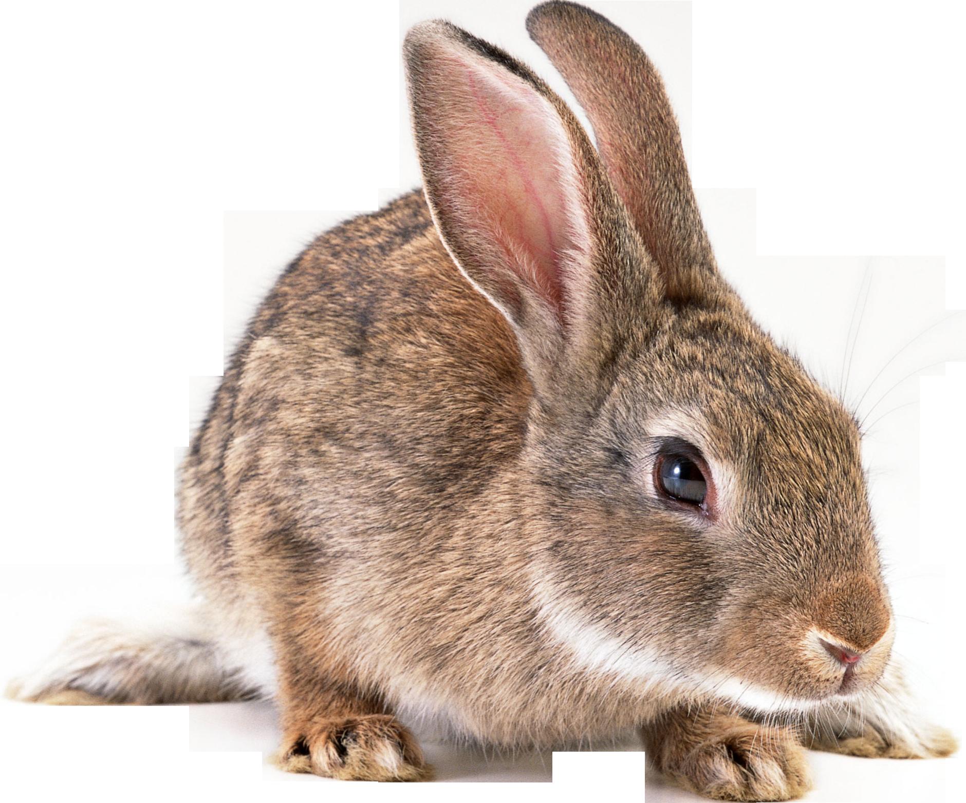 Gray Rabbit PNG Image - Rabbit PNG