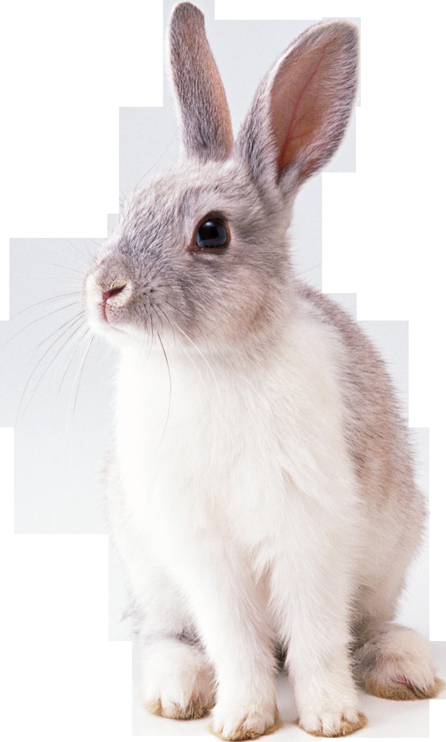 Rabbit PNG - 2859