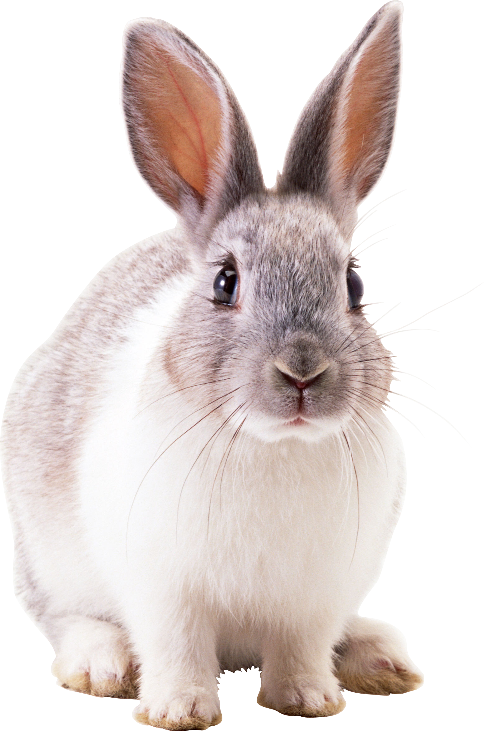 Rabbit PNG - 2857