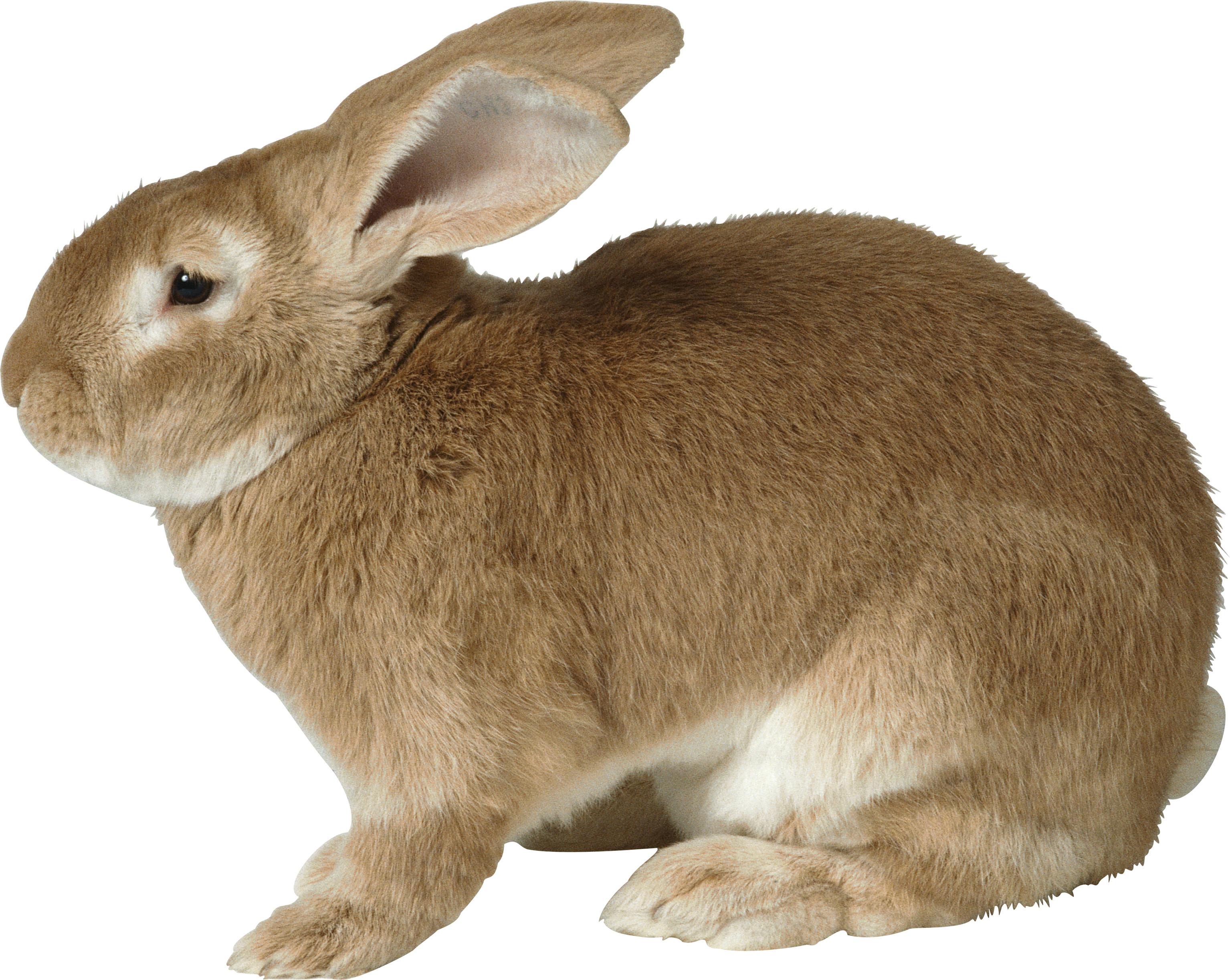 Rabbit PNG - 2874