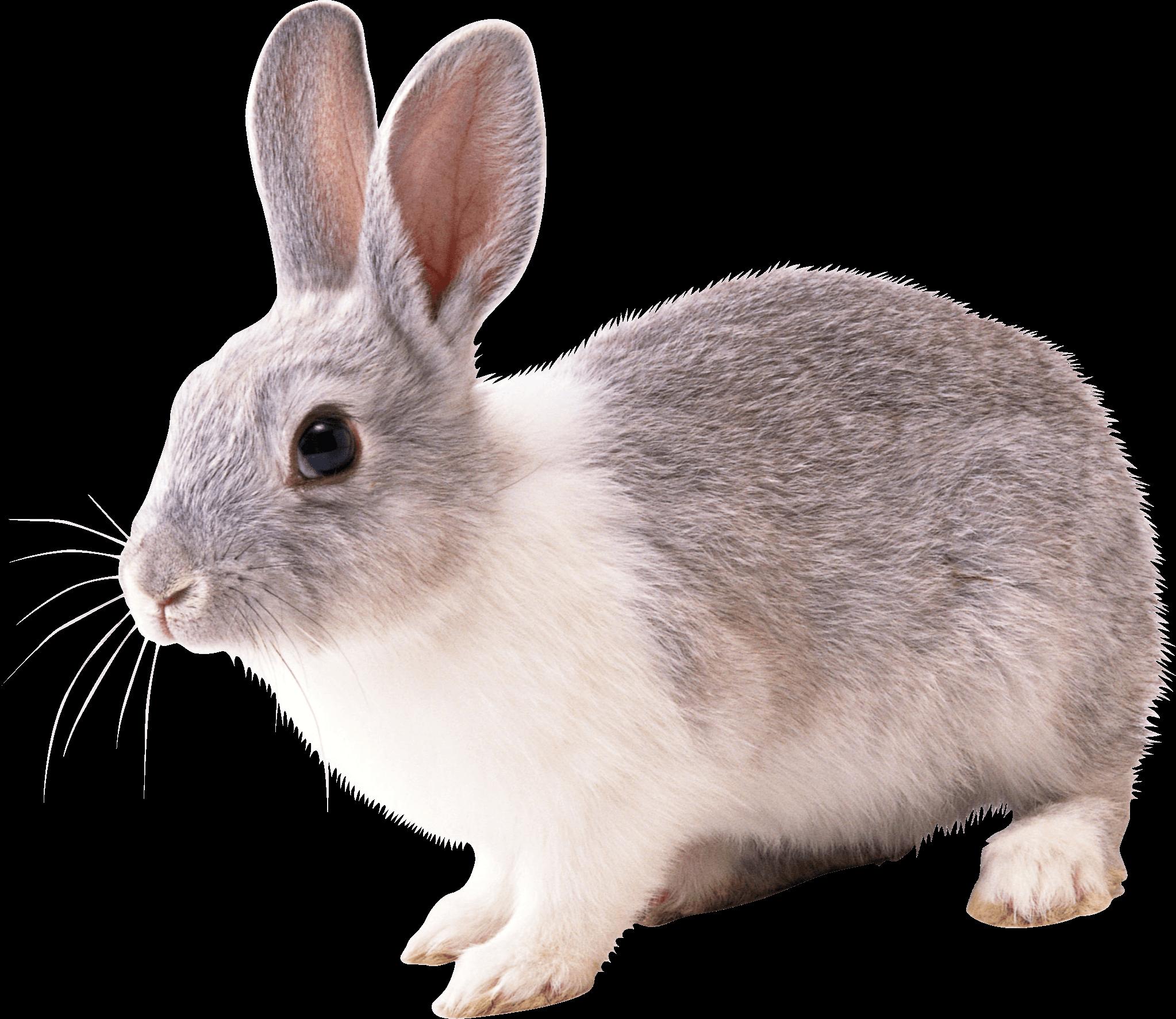 Rabbit PNG - 2860