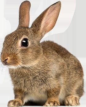 Rabbit Png - Rabbit PNG