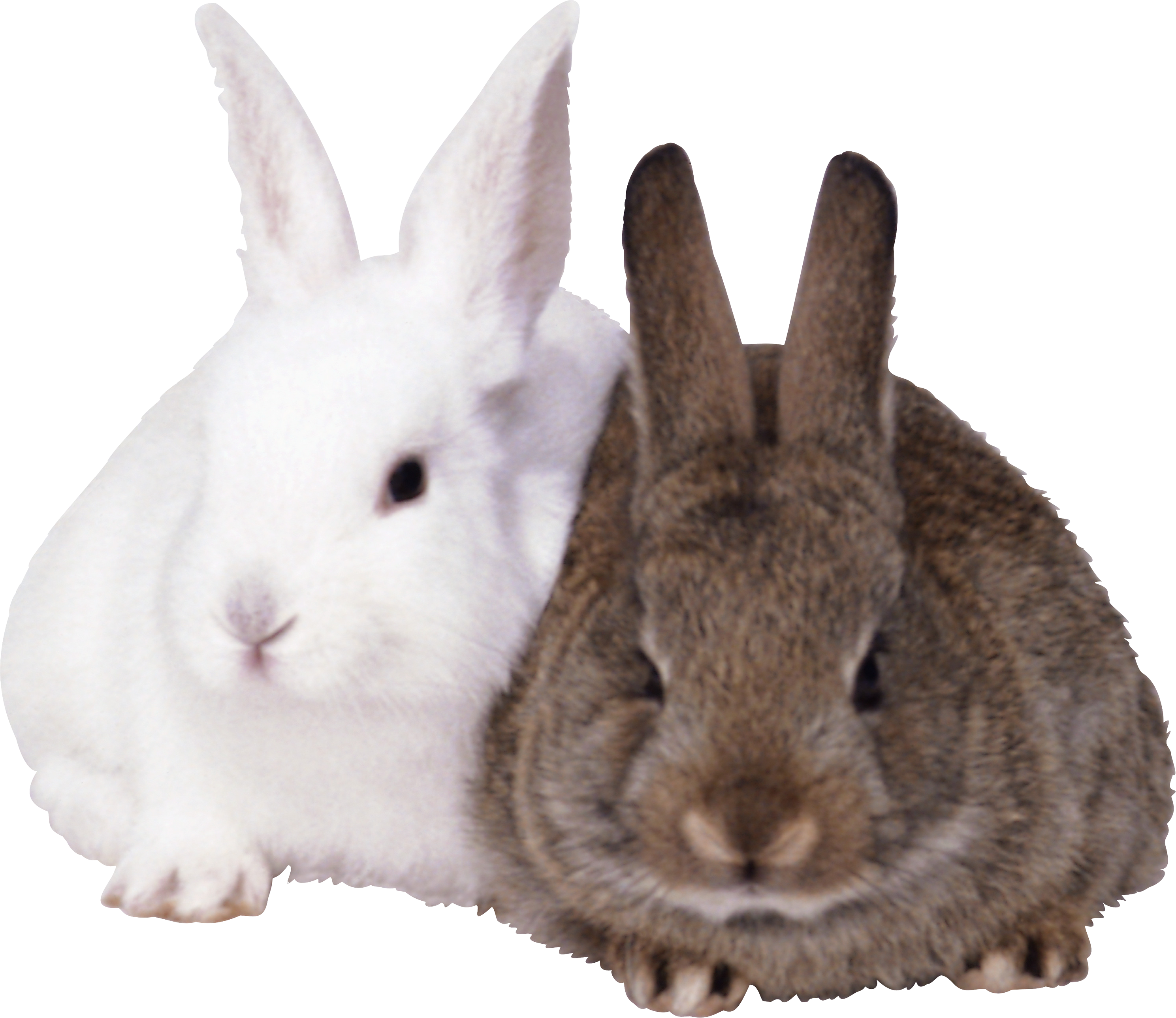 Rabbits PNG - Rabbit PNG