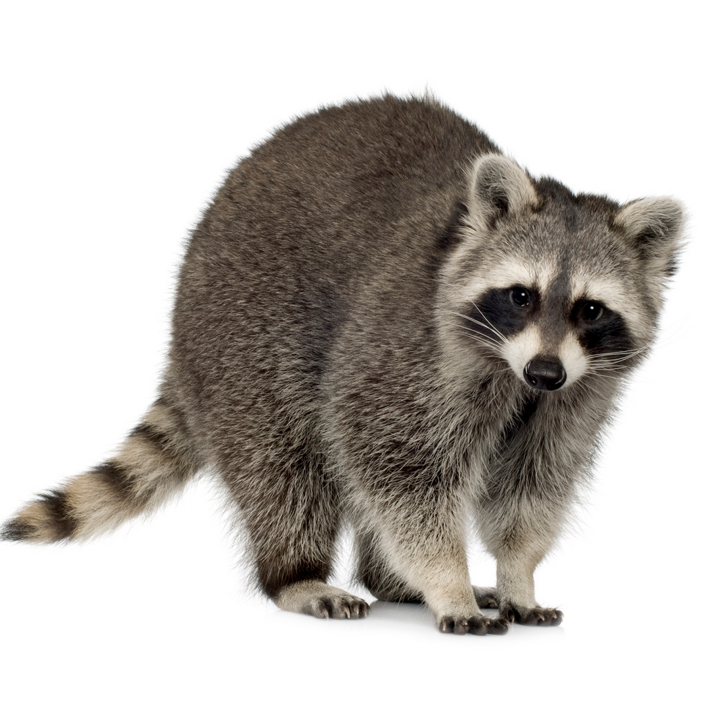 Buy raccoon months) - Procyon lotor by Lifeonwhite on PhotoDune. raccoon  months) u2013 Procyon lotor in front of a white background - Raccoon HD PNG