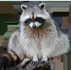 Download - Raccoon HD PNG