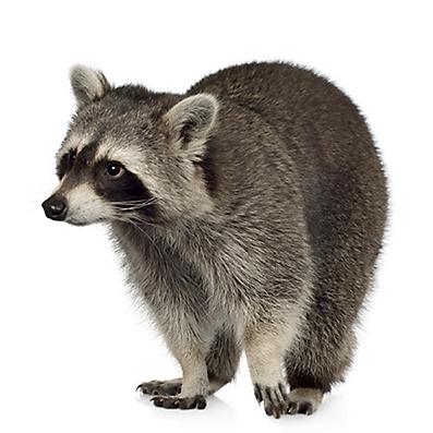 Other Photos: Raccoon PlusPng.com  - Raccoon HD PNG