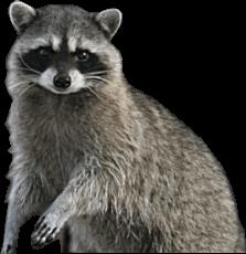 Raccoon - Raccoon HD PNG