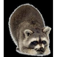 Raccoon Free Download Png PNG Image - Raccoon HD PNG