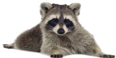 Raccoon PNG - Raccoon HD PNG