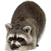 Raccoon Png Image PNG Image - Raccoon HD PNG