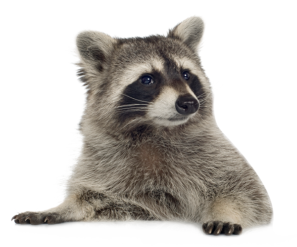 Raccoon Png Picture PNG Image - Raccoon HD PNG