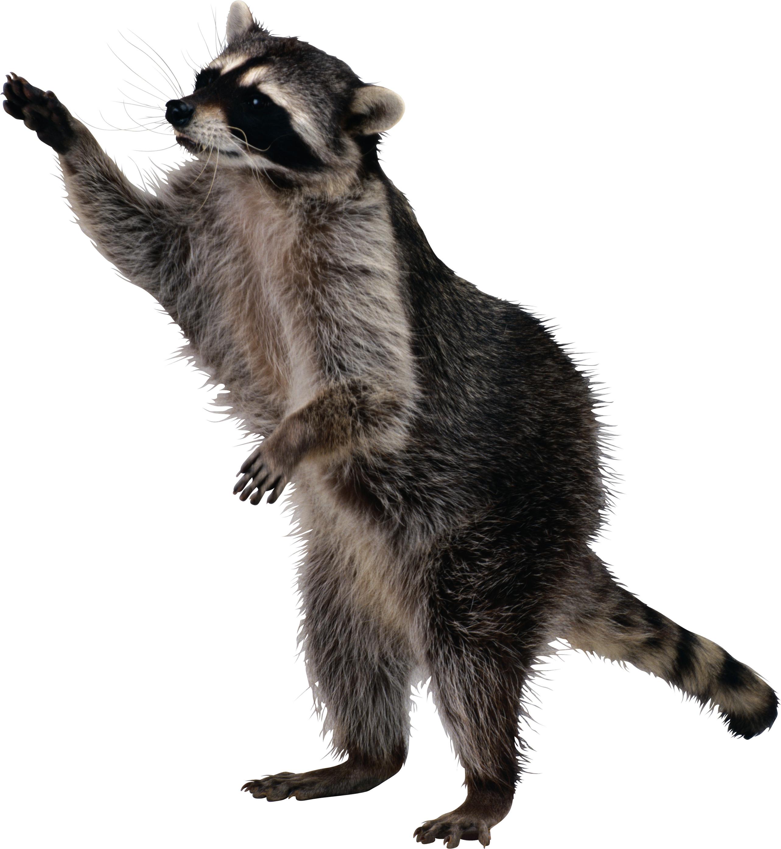 raccoon_PNG16965.png (2565×2790)   енот   Pinterest   Raccoons and Animal - Raccoon HD PNG