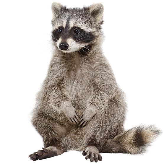 Raccoon HD PNG