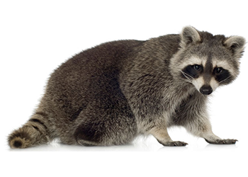 Raccoons forage for food in your lawn, pet bowls, and garbage cans. If left  to do their mischief, these animals may decide to make your home their  home; PlusPng.com  - Raccoon HD PNG