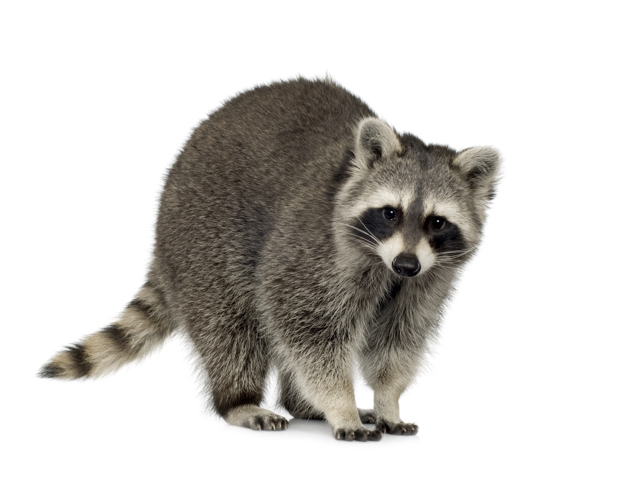A Raccoon - Raccoon PNG