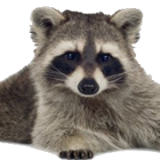 Raccoon PNG - 18253