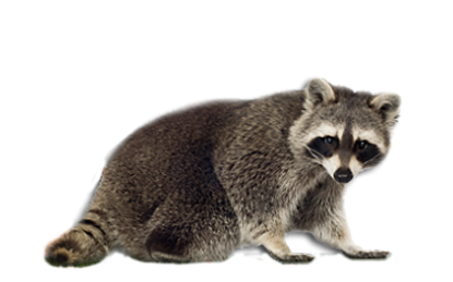 Raccoon PNG - 18245