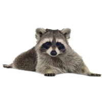 Raccoon PNG - 18243