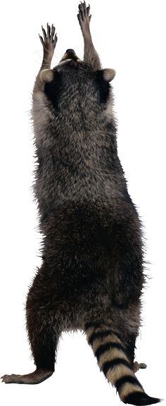 Raccoon PNG - 18249
