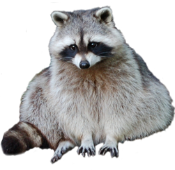 Raccoon PNG - 18242