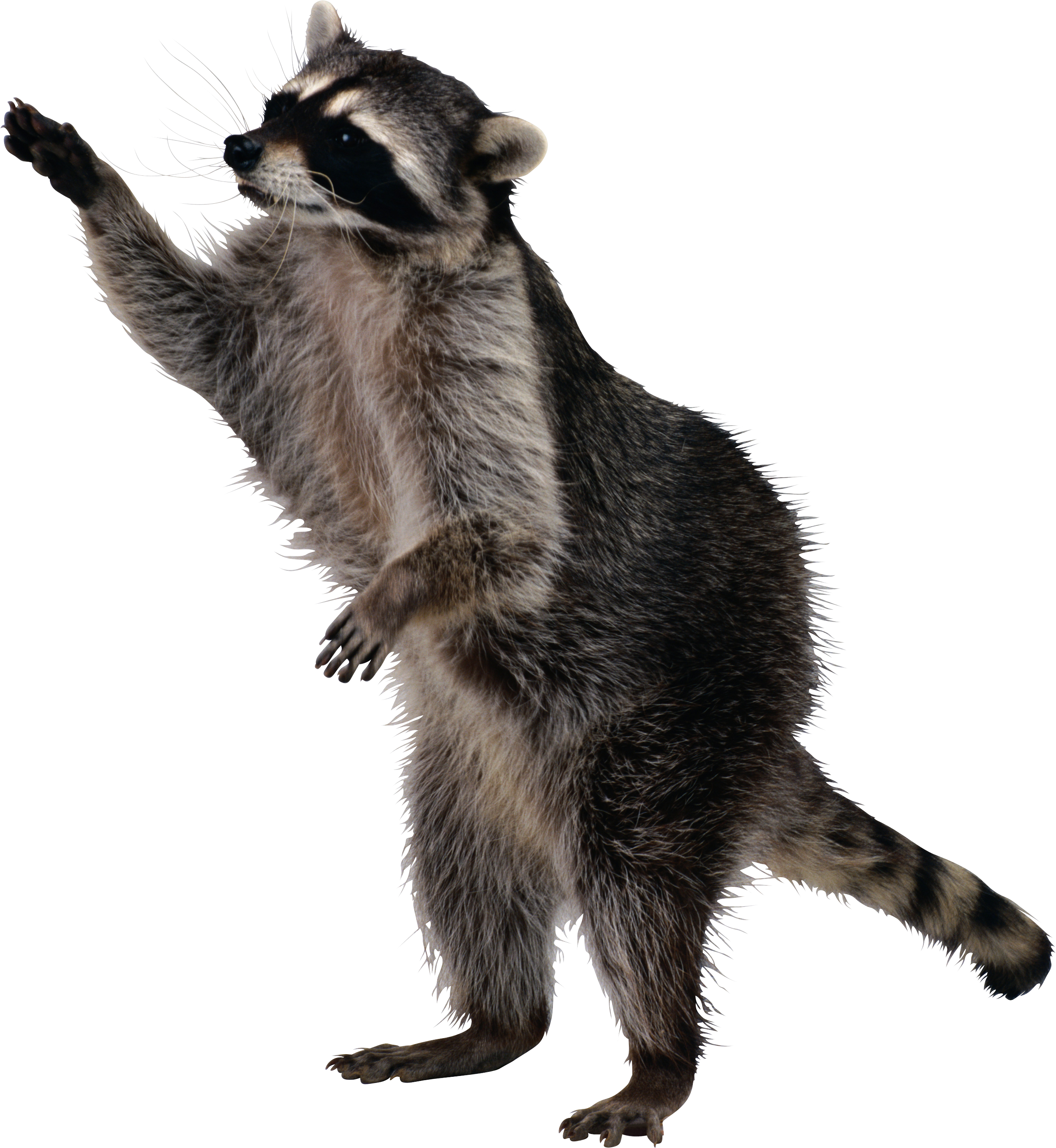 Raccoon PNG - 18241