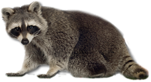 Raccoon PNG - 18235