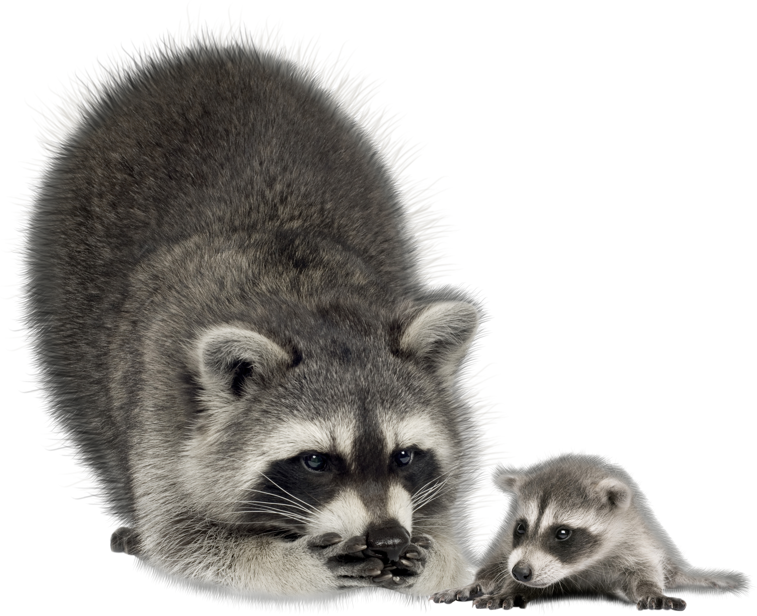 Raccoon PNG - 18250