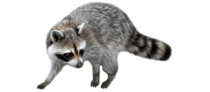 Raccoon PNG - 18236